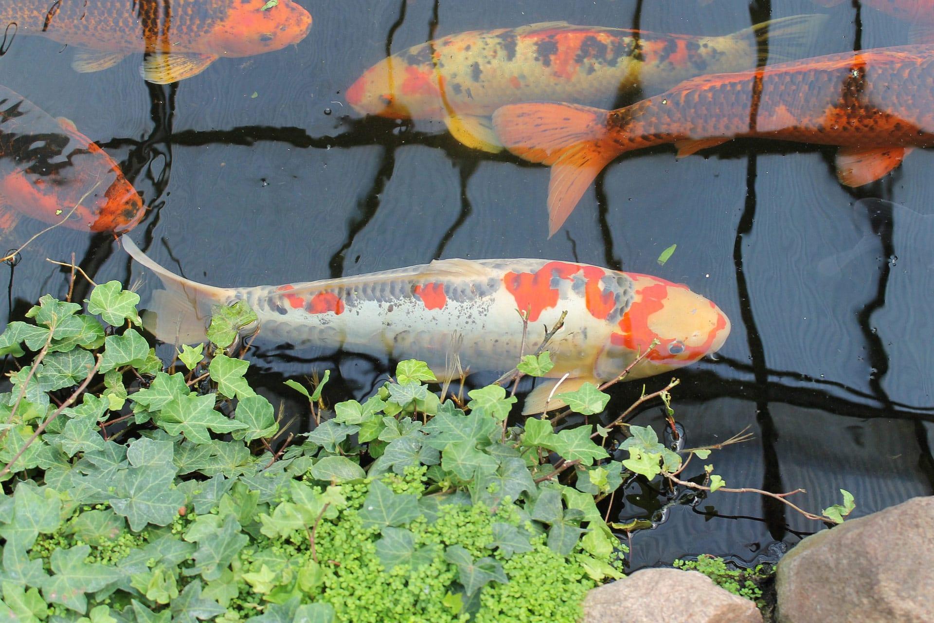 Vijveraanleg vissen